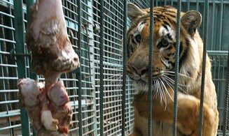Gaza's last tiger leaves 'world's worst zoo'
