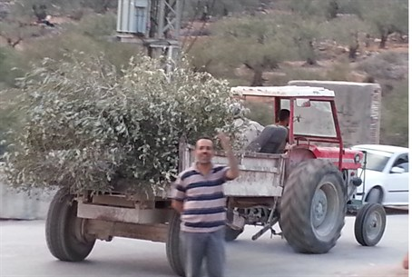 Arab/Leftist Olive Tree Vandals